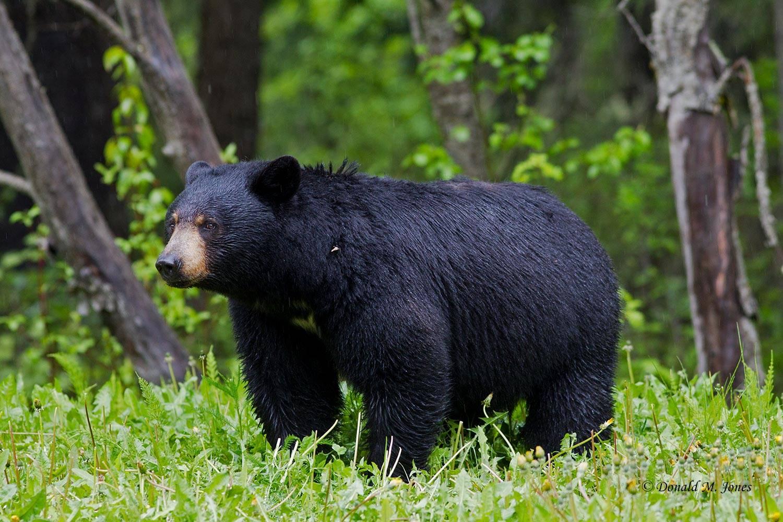 Black-Bear06453D