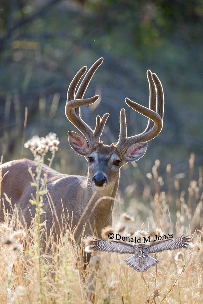 Whitetail-Deer52715D