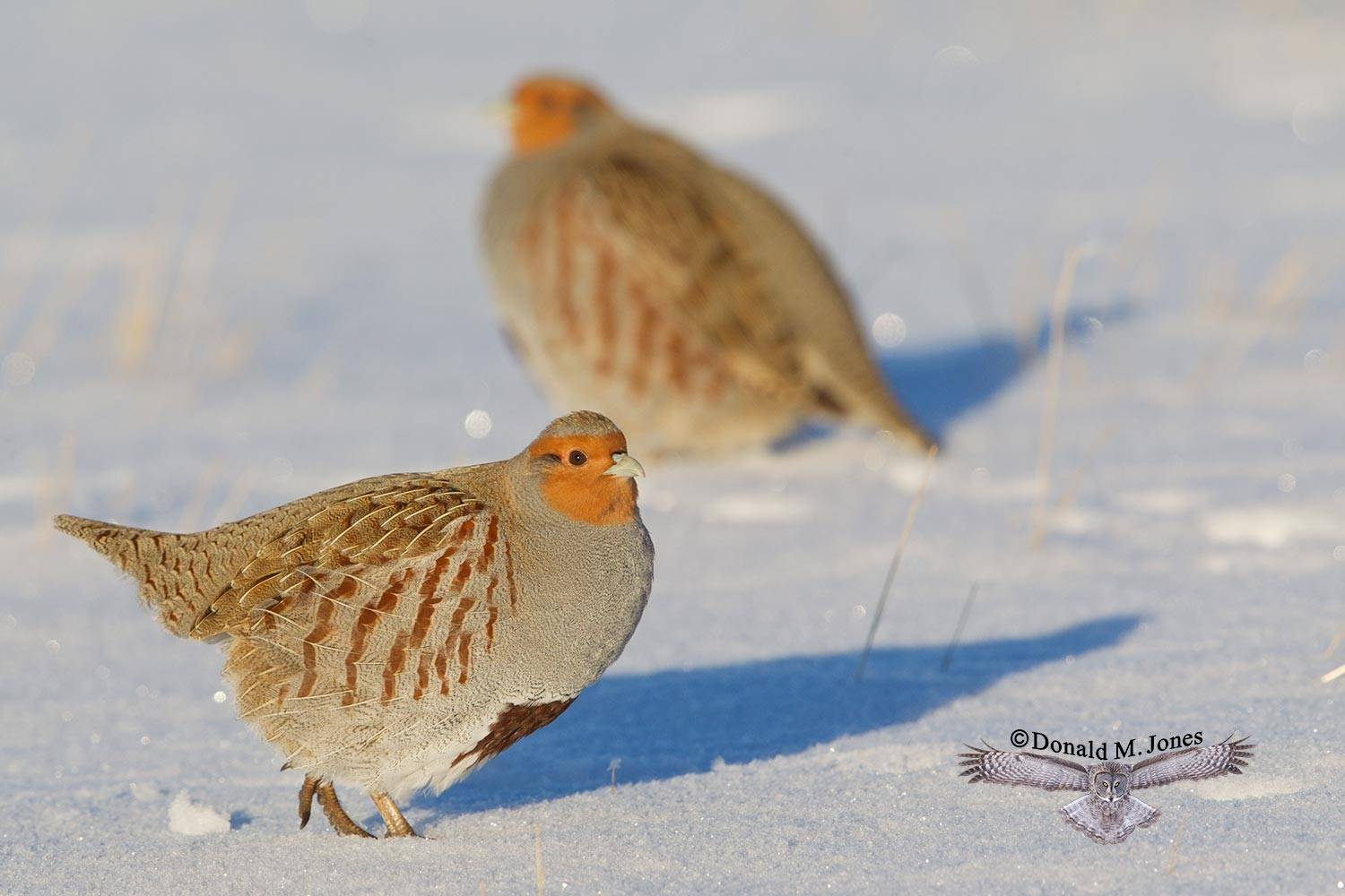 Hungarian-Partridge0153D