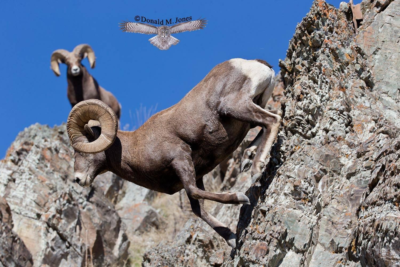 Bighorn-Sheep04746D