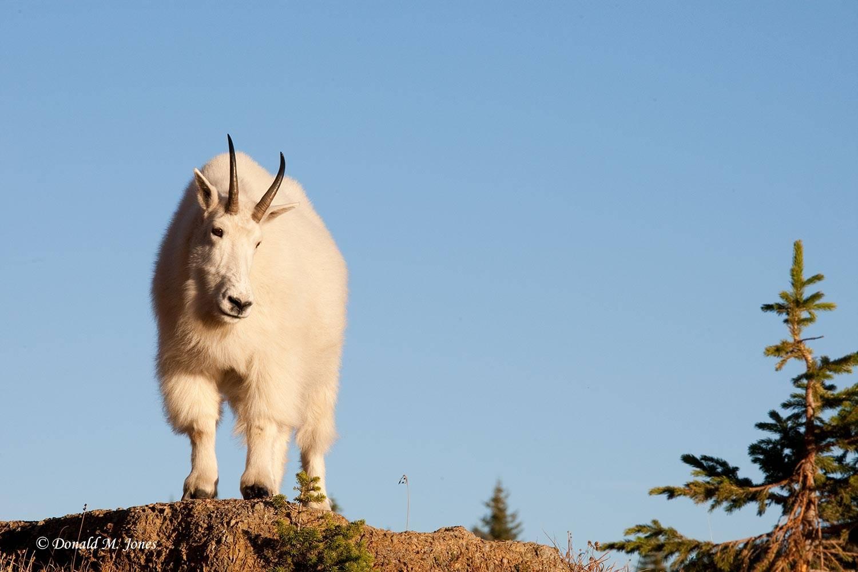 Mountain-Goat02086D