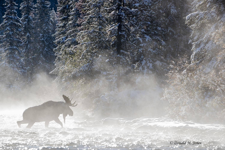 Moose06739D