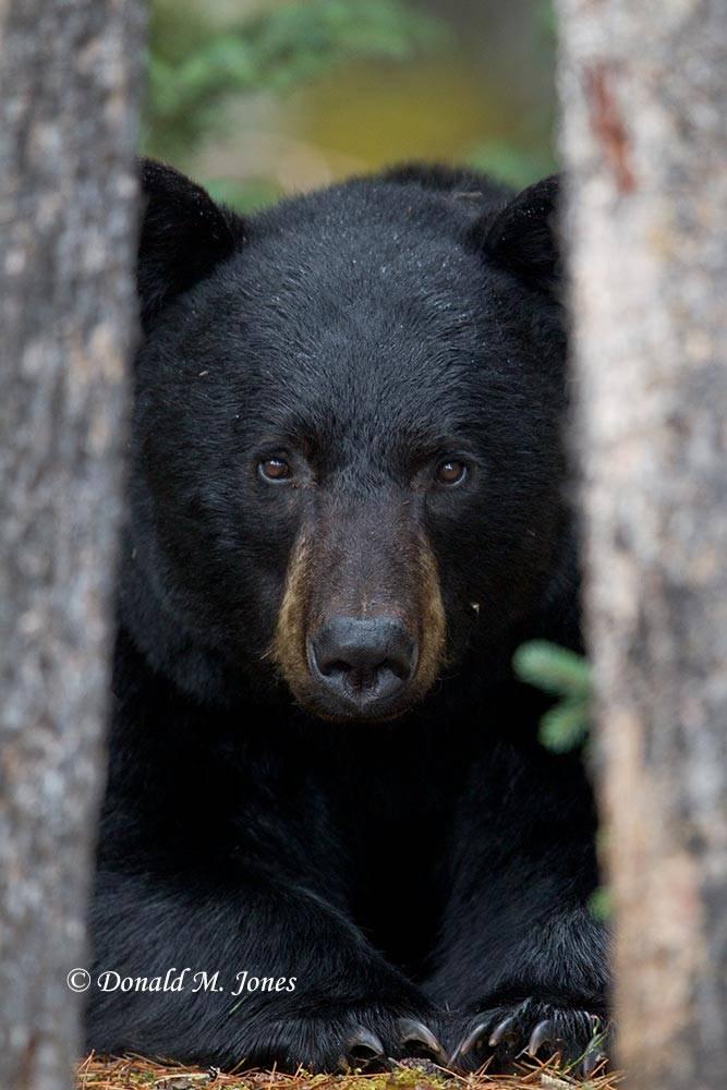 Black-bear06608D
