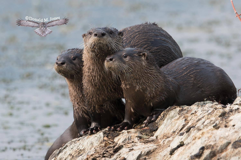 River-Otter0155D