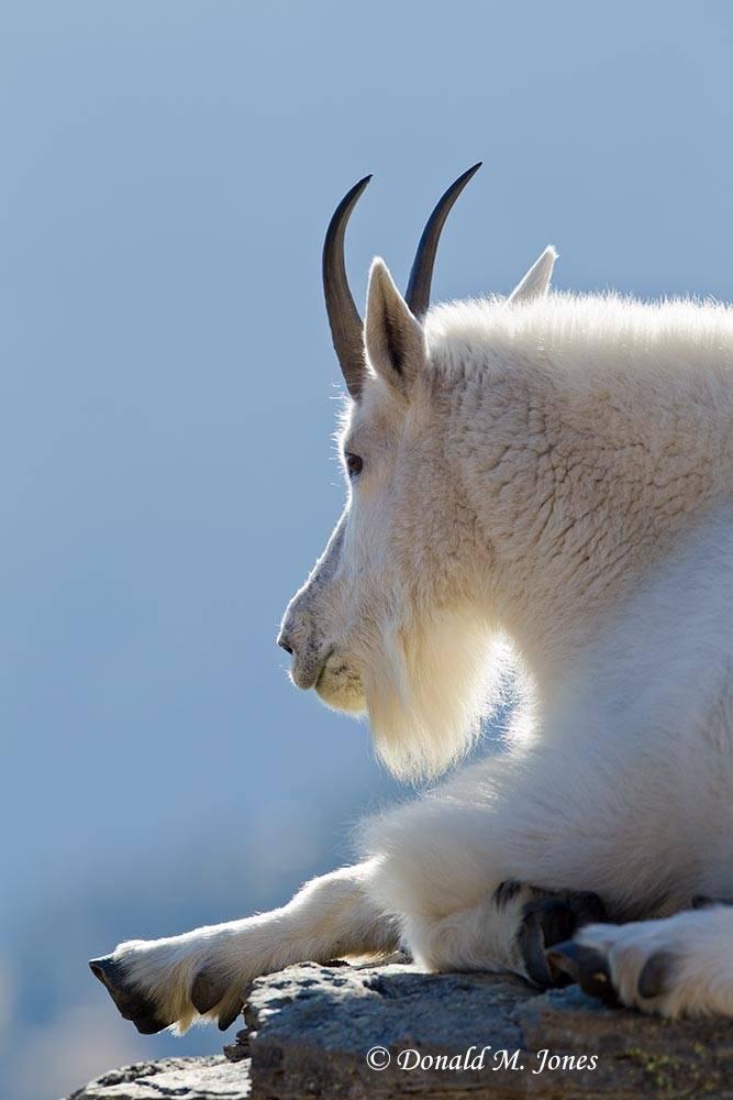 Mountain-Goat02133D