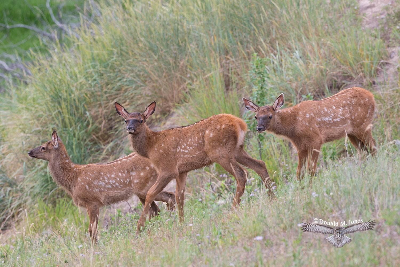 Elk-(Rocky-Mtn)21696D
