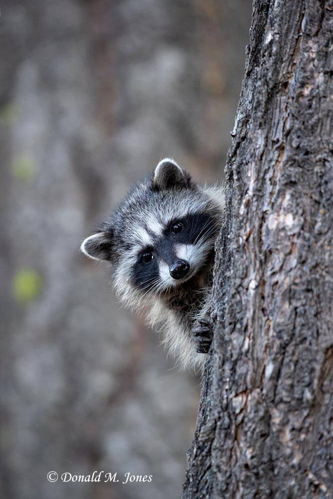 Raccoon0185D