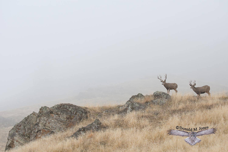 Mule-Deer07918D