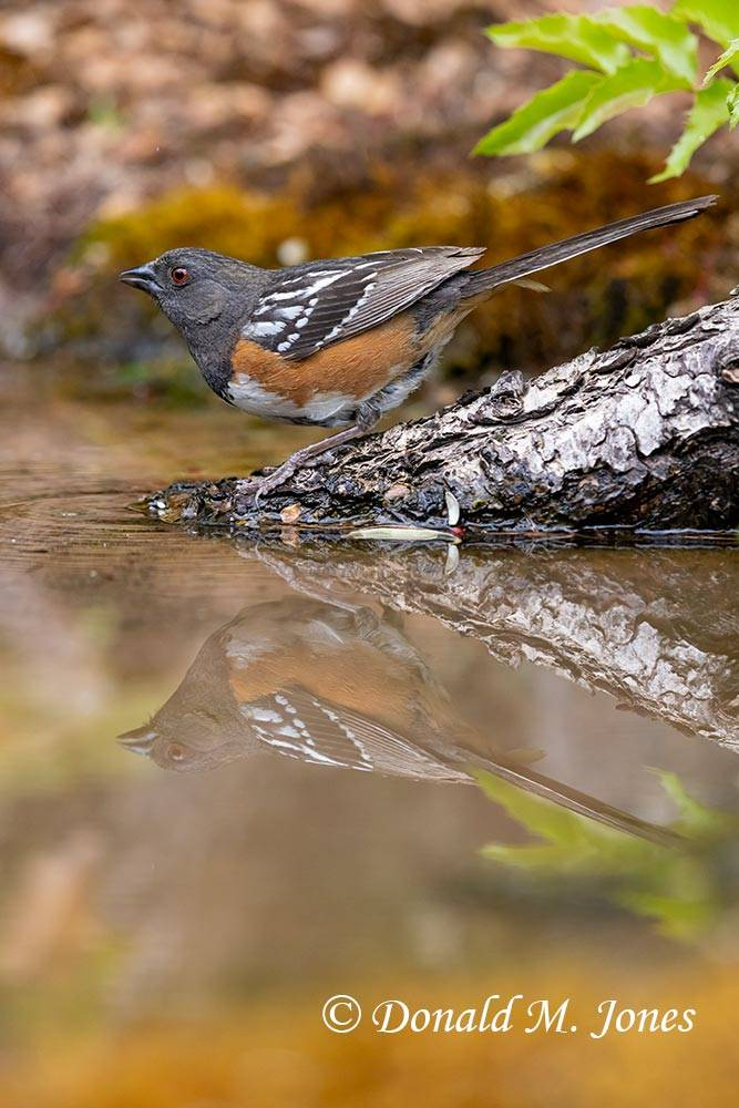 Spotted-Towhee0691D