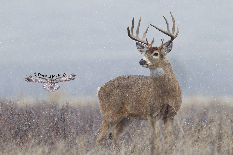 Whitetail-Deer52114D