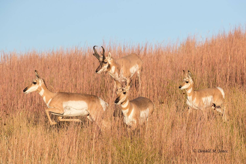 Pronghorn-Antelope05560D