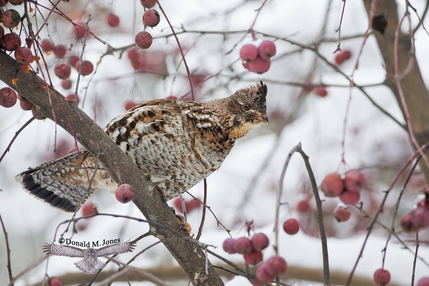 Ruffed-Grouse0460D