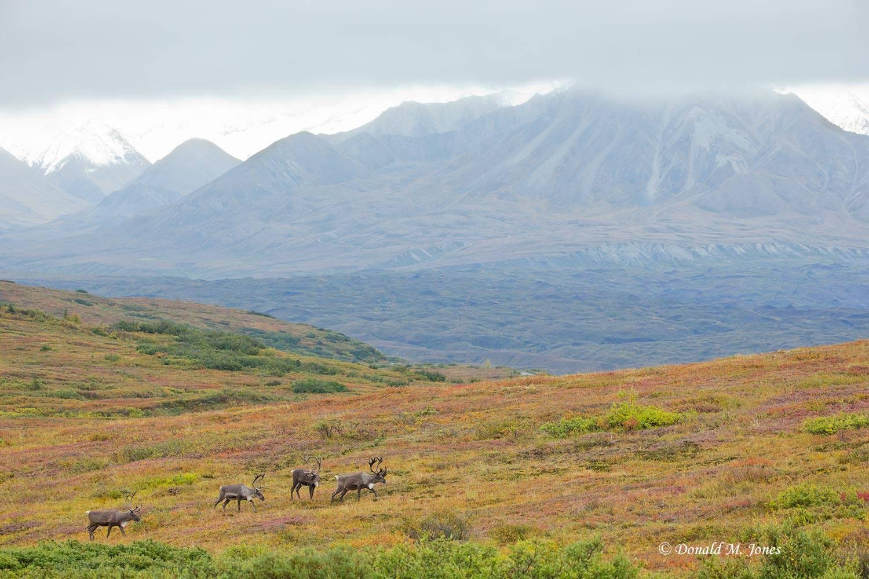 Barren-Ground-Caribou03304D