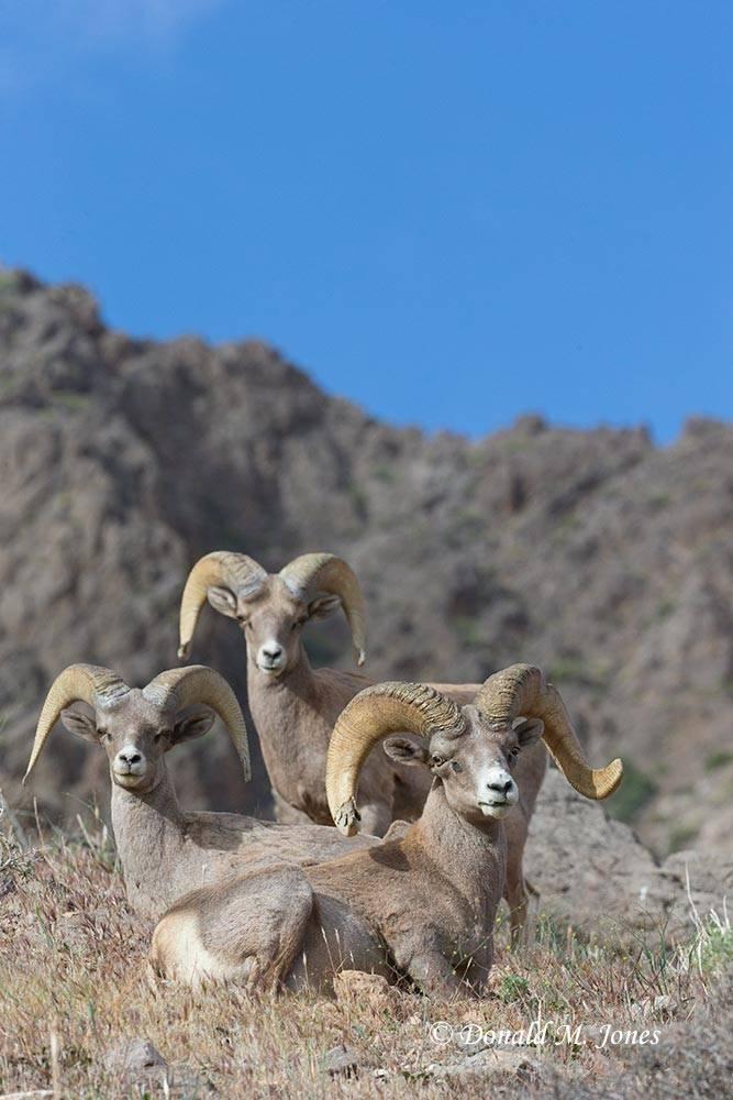Desert-Bighorn-Sheep00586D