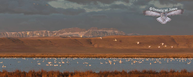Tundra-Swan0332D