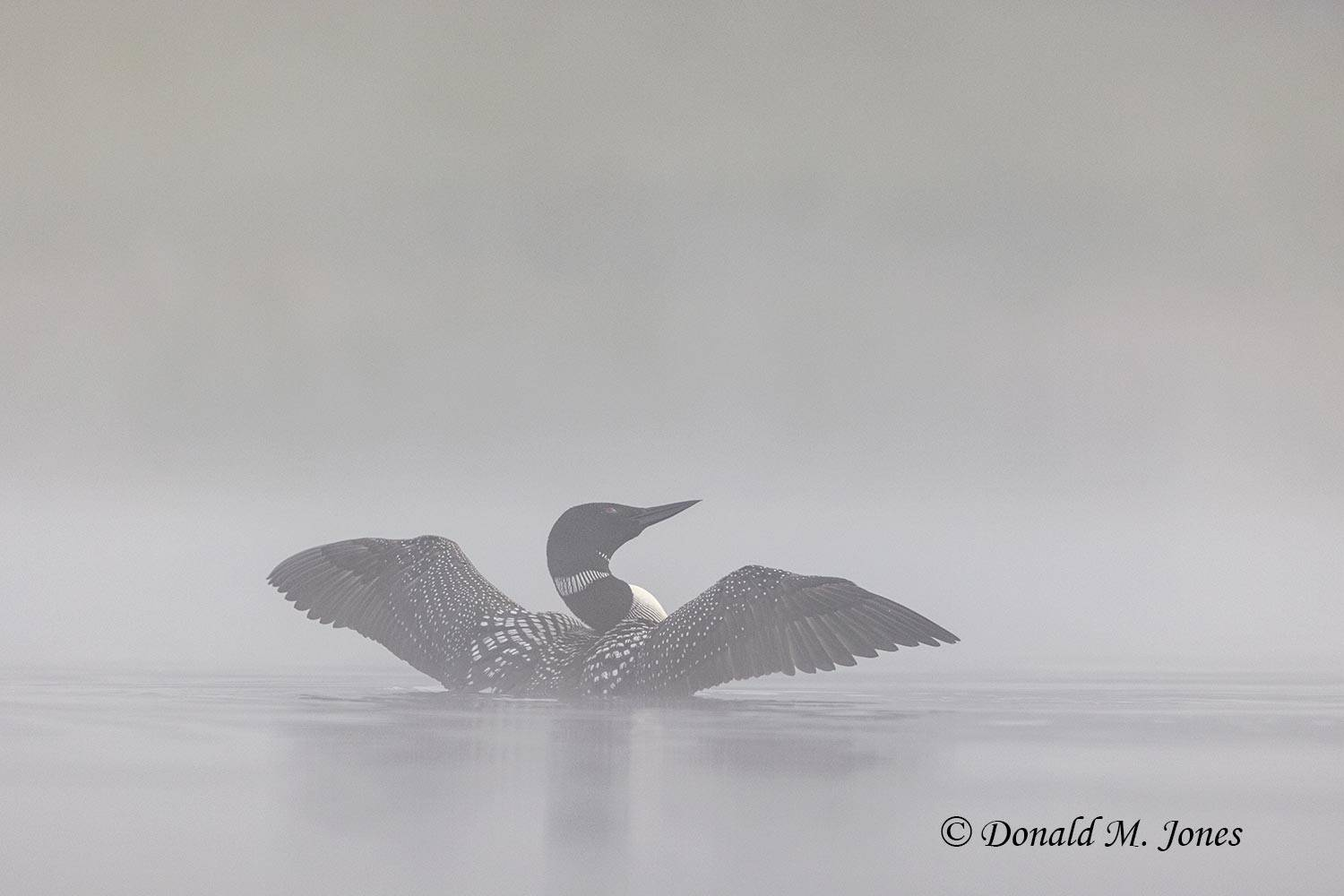 May 29 - Common Loon2190D