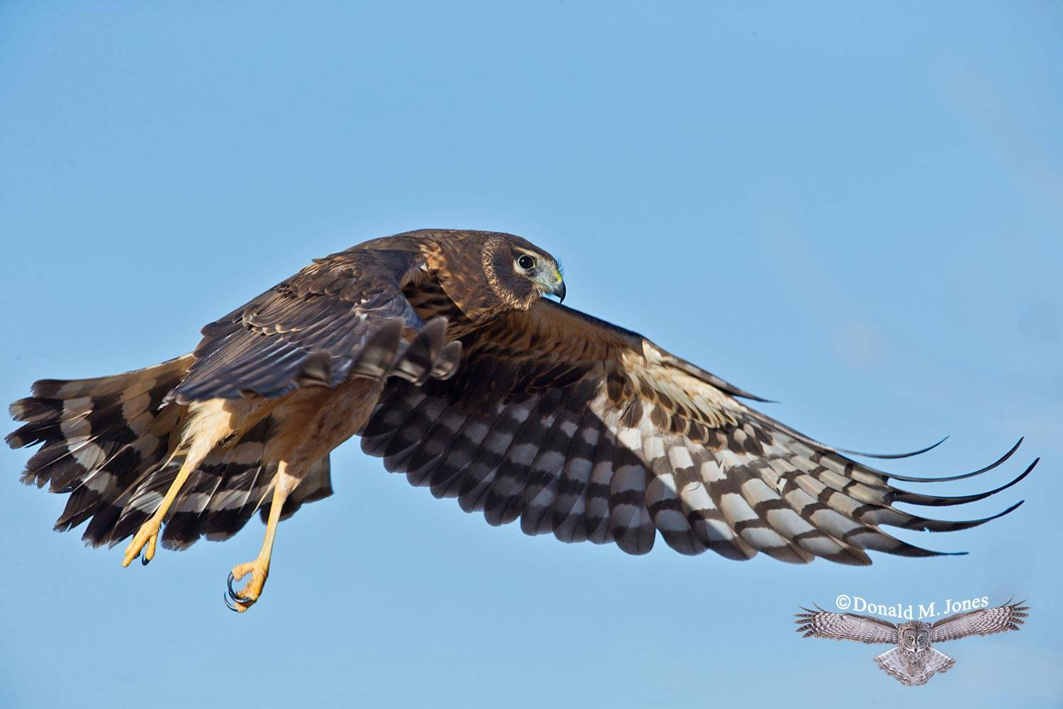 Northern-Harrier0200D