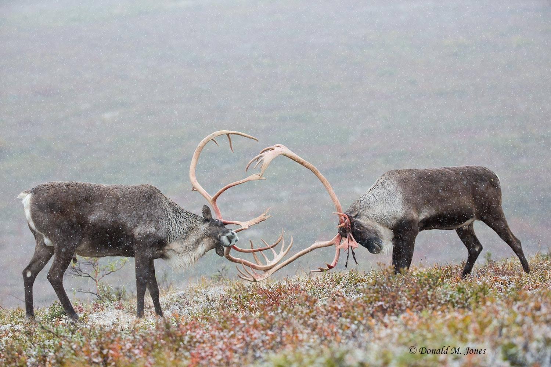 Barren-Ground-Caribou02619D