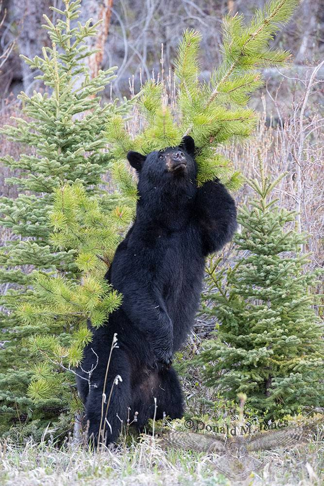 May 21 Black Bear rubbing back with Lodgepole pine tree