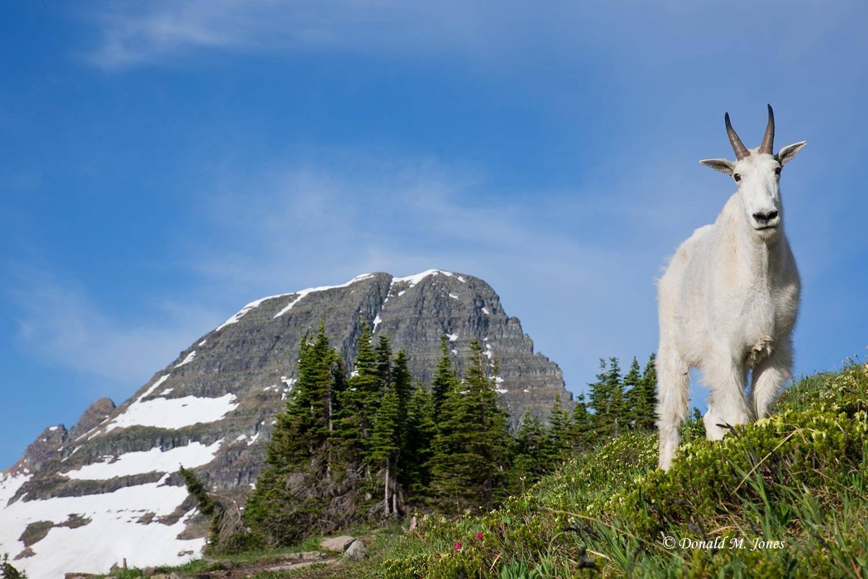 Mountain-Goat02494D