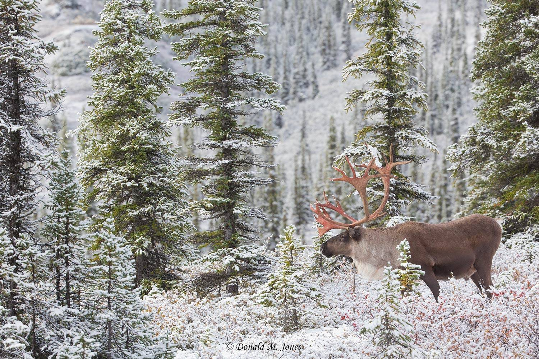 Barren-Ground-Caribou03633D
