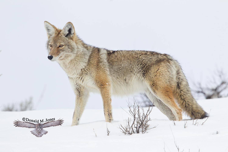 Coyote02374D