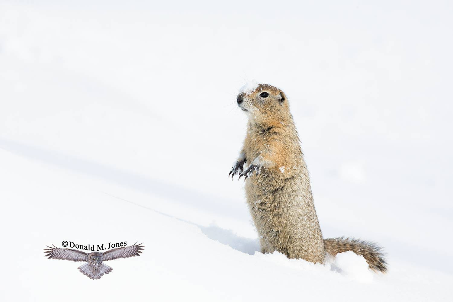 Artic-Ground-Squirrel0160D