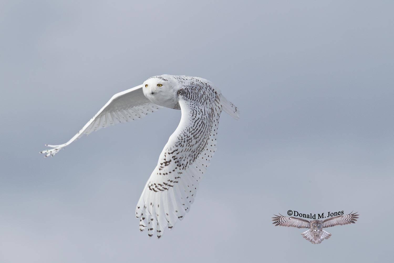 Snowy-Owl0626D