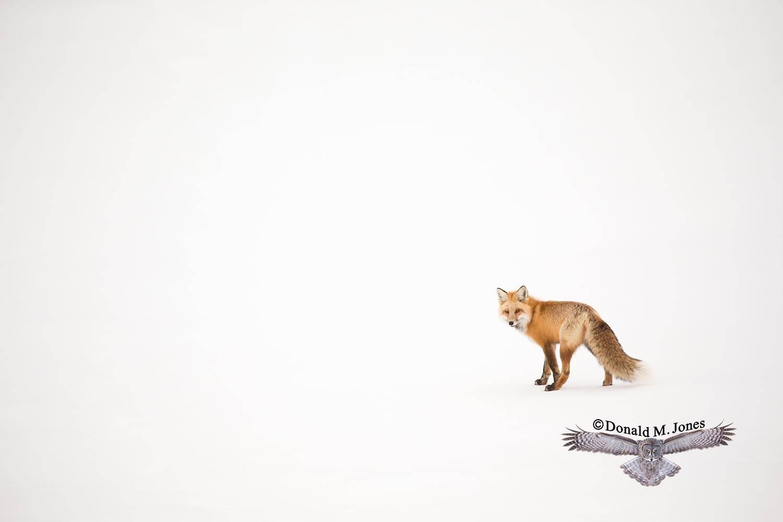 Red-Fox1171D