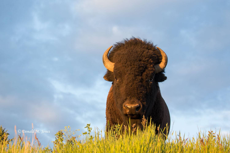 American-Bison02181D