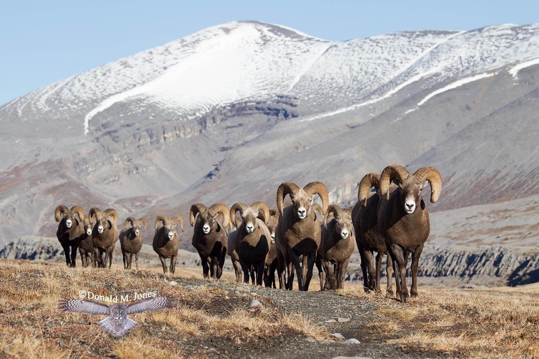 Bighorn-Sheep05145D.jpg