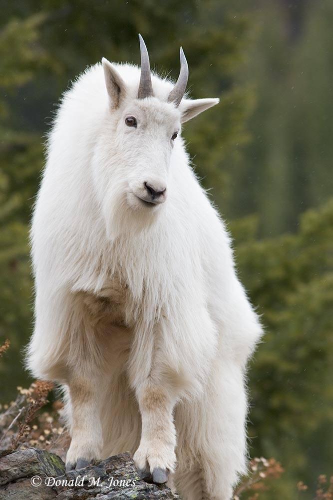 Mountain-Goat01983D