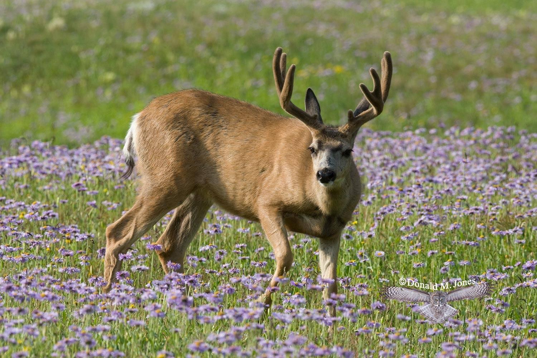 Mule-Deer07753D