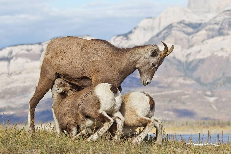 Bighorn-Sheep05236D