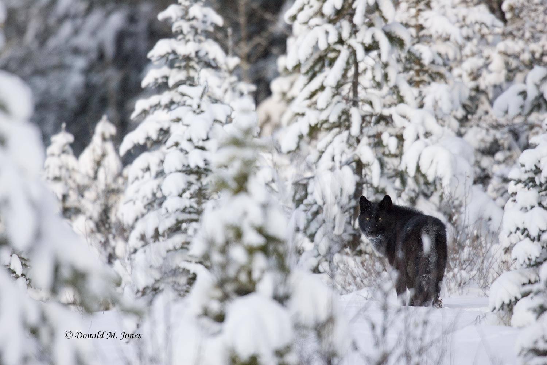 Wolf0441D