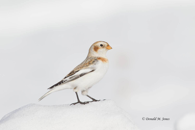 Snow-Bunting0016D