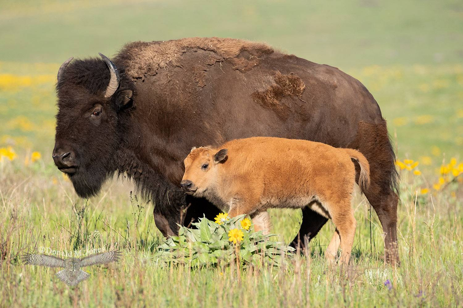May 15 Bison Cow and Calf.