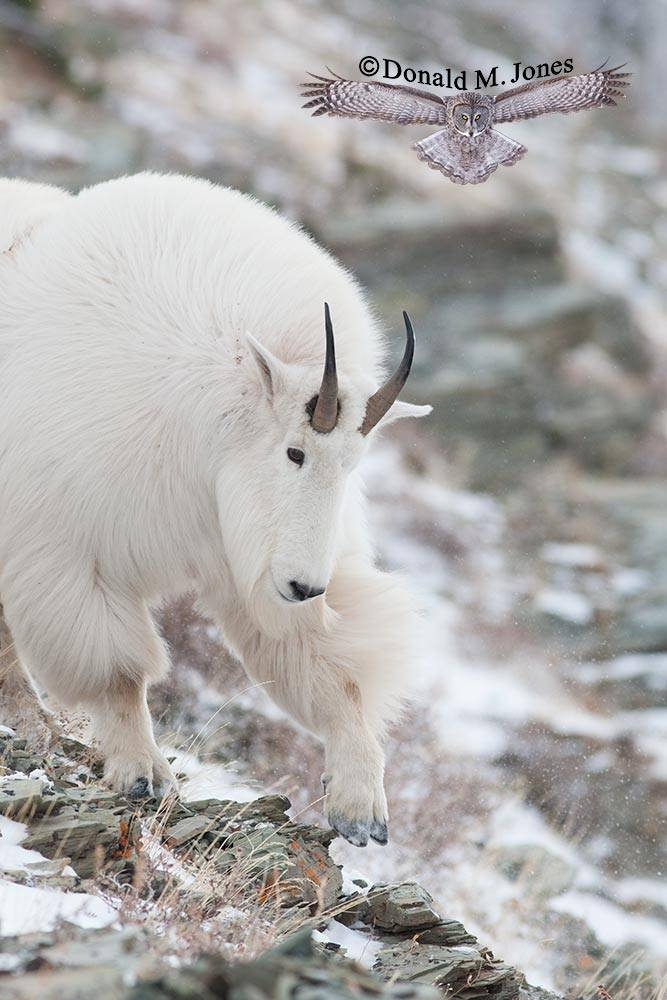 Mountain-Goat02272D