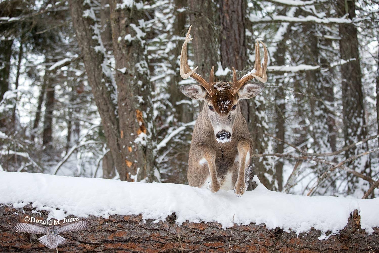Whitetail-Deer55191D