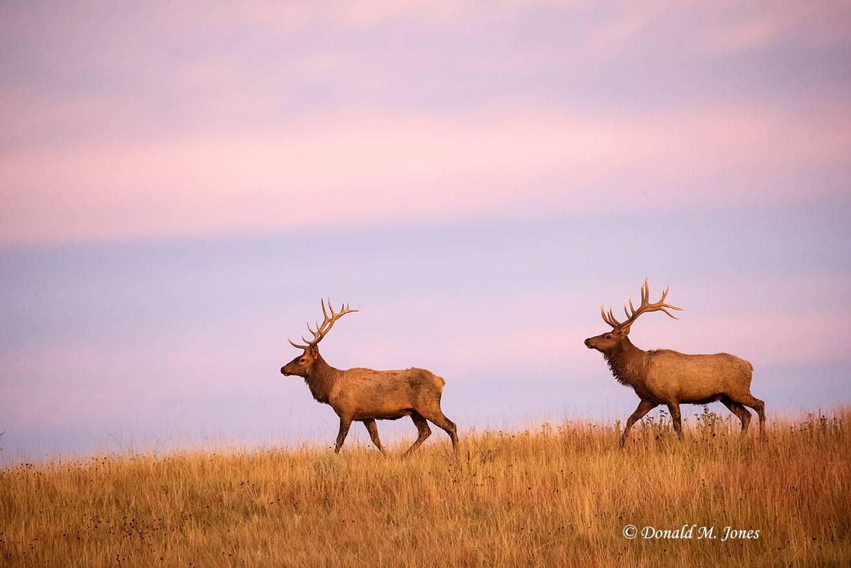 Elk-(Rocky-Mtn)26680D