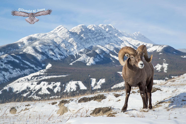 Bighorn-Sheep06064D