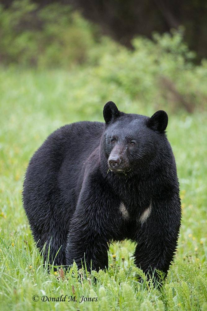 Black-Bear08029D