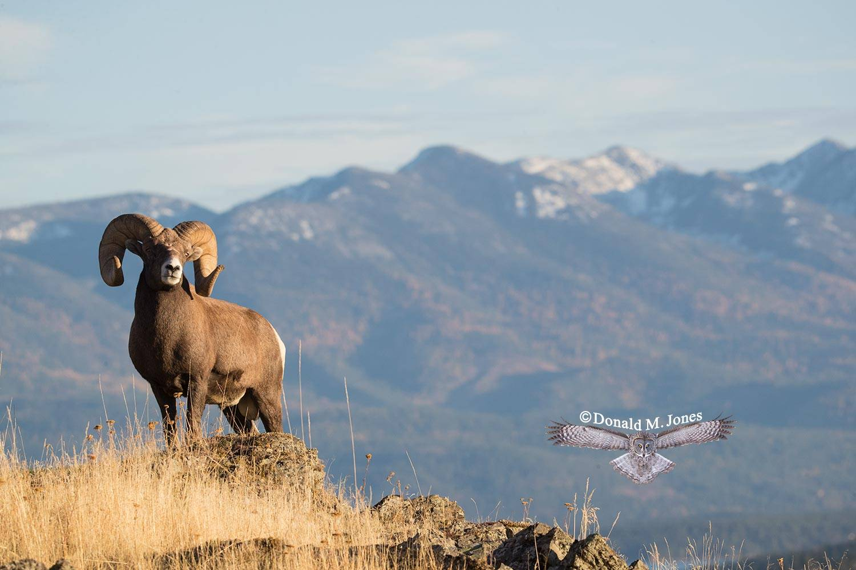Bighorn-Sheep05801D
