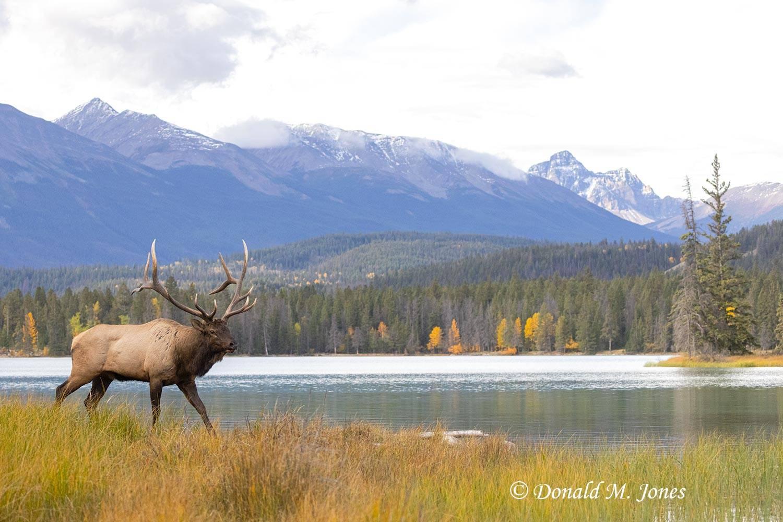 Elk-(Rocky-Mtn)28493D