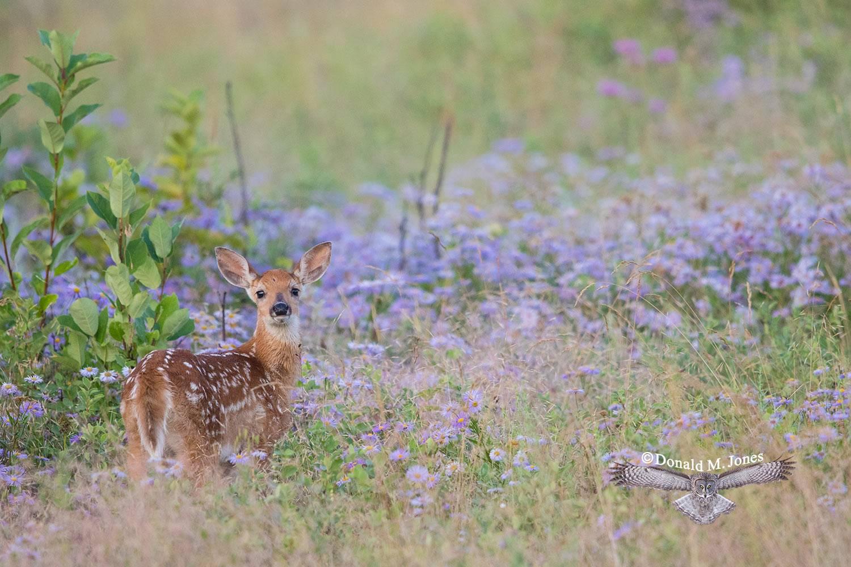 Whitetail-Deer57323D