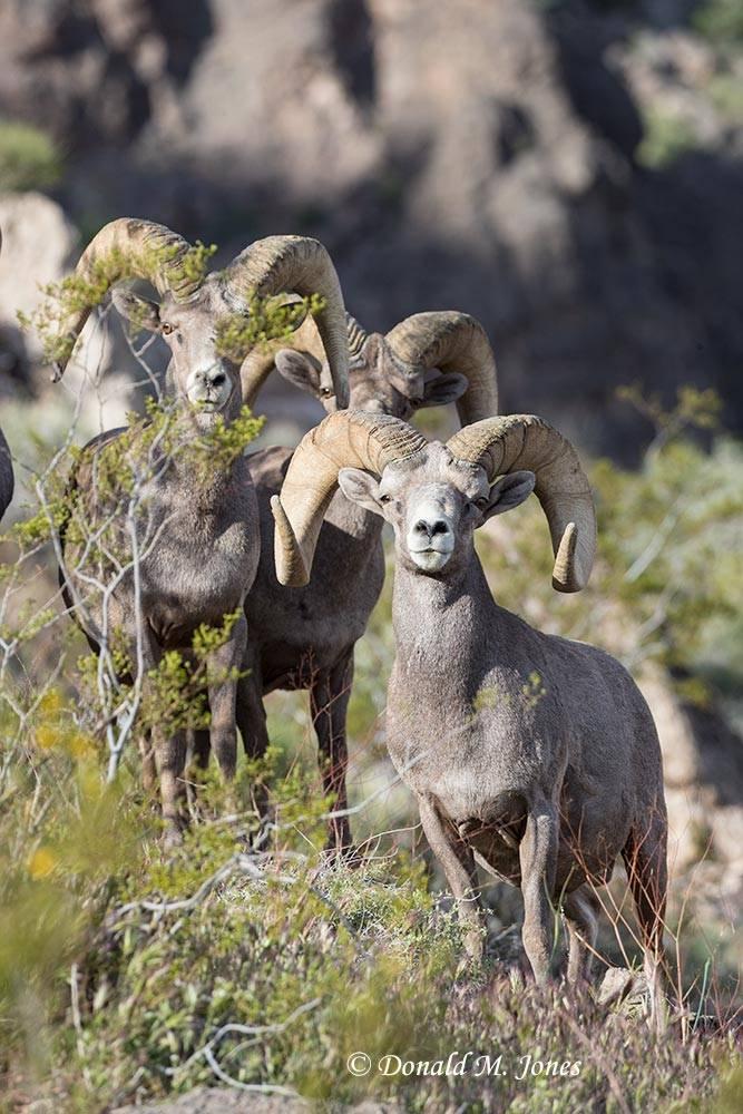 Desert-Bighorn-Sheep01001D