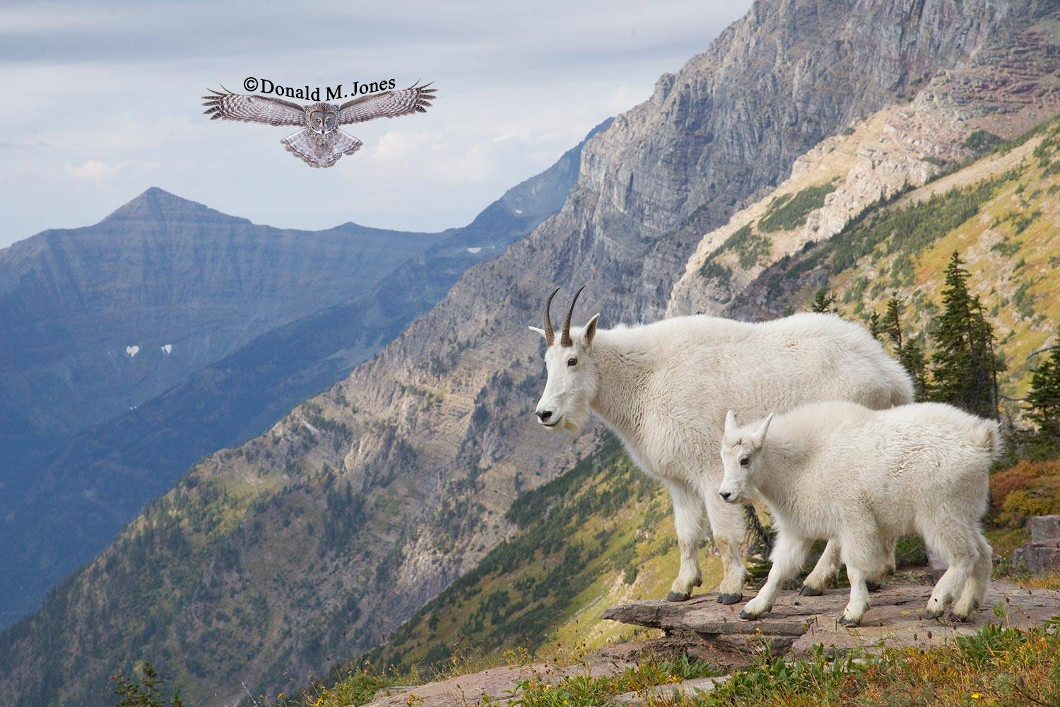 Mountain-Goat02179D