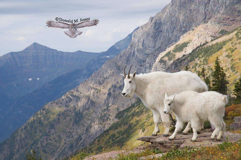 Mountain-Goat02179D