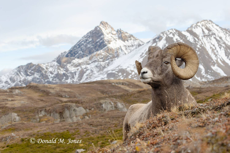 Bighorn-Sheep06661D