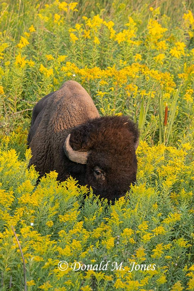 American-Bison03062D